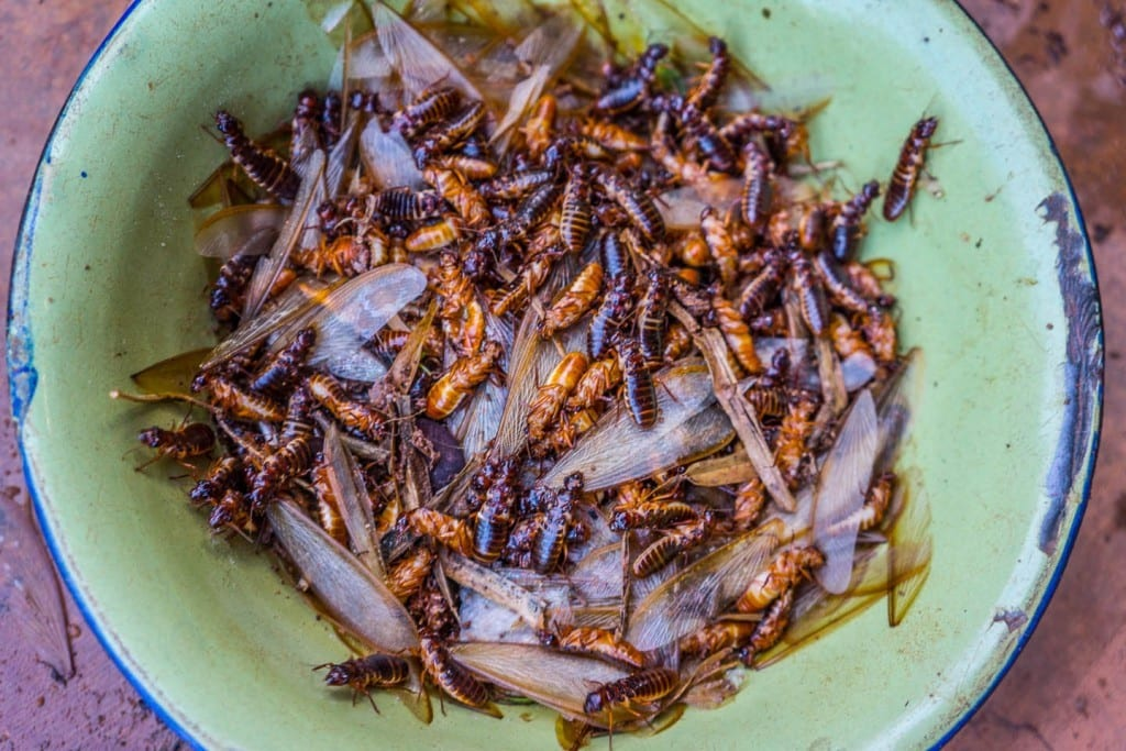 "Nutritional benefits of eating winged termites (""aku ..."