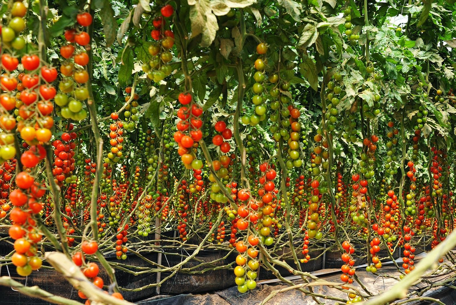 Easy Steps On How To Grow Tomatoes At Home